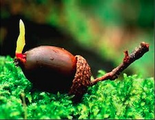 AR-acorn1.jpg